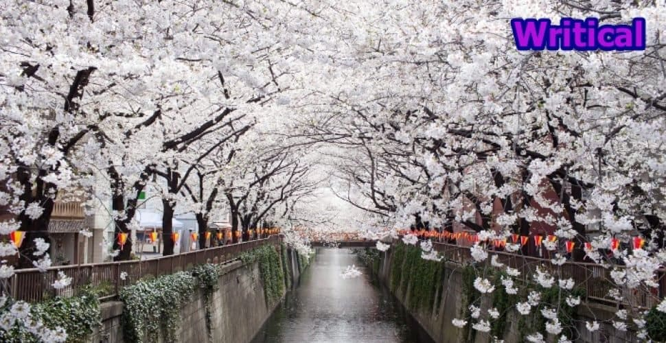 Mystical Pictures of Cherry Blossom