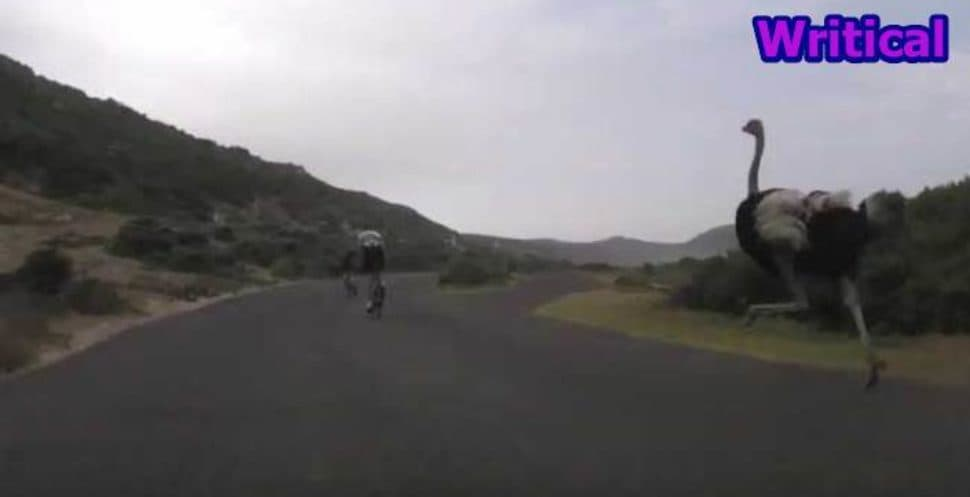 South African Ostrich Chasing Cyclists