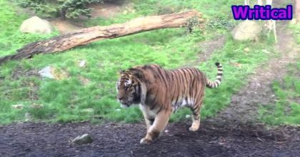 Fighting tigers in Dublin Zoo scares the young girl