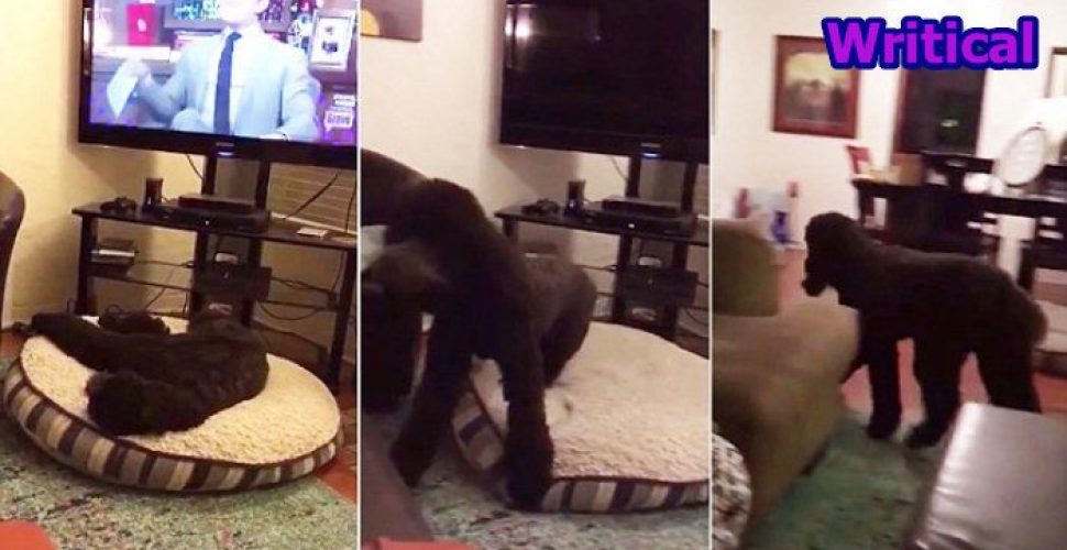 funny Dog runs after TV is shut down