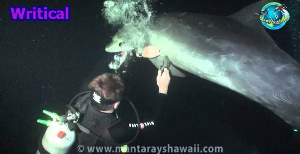 Injured Dolphin asking a Diver for help