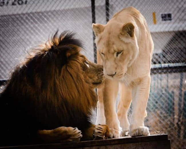 True Love found by lion after being abused for many years