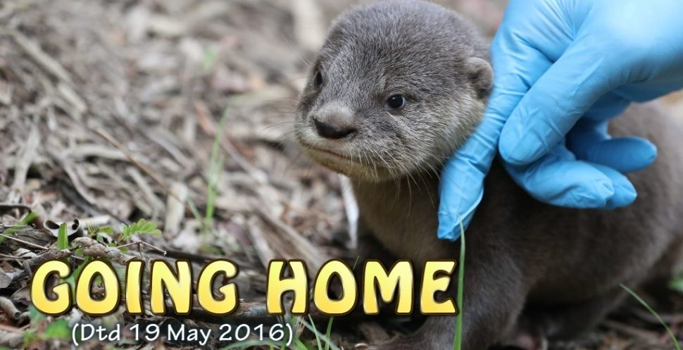 An Otter Pup is reintroduced to his family. Priceless