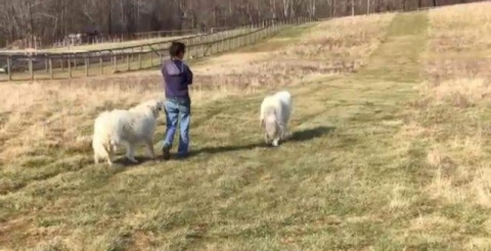 Farmer walks with her animal friends. Hilarious
