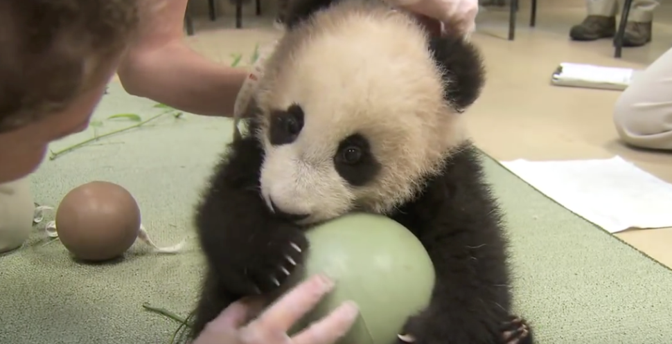 Hilarious Panda reaction when ball is taken away