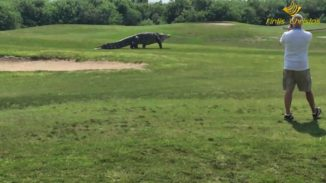 Monster Alligator caught strolling at Florida Golf Course. Scary
