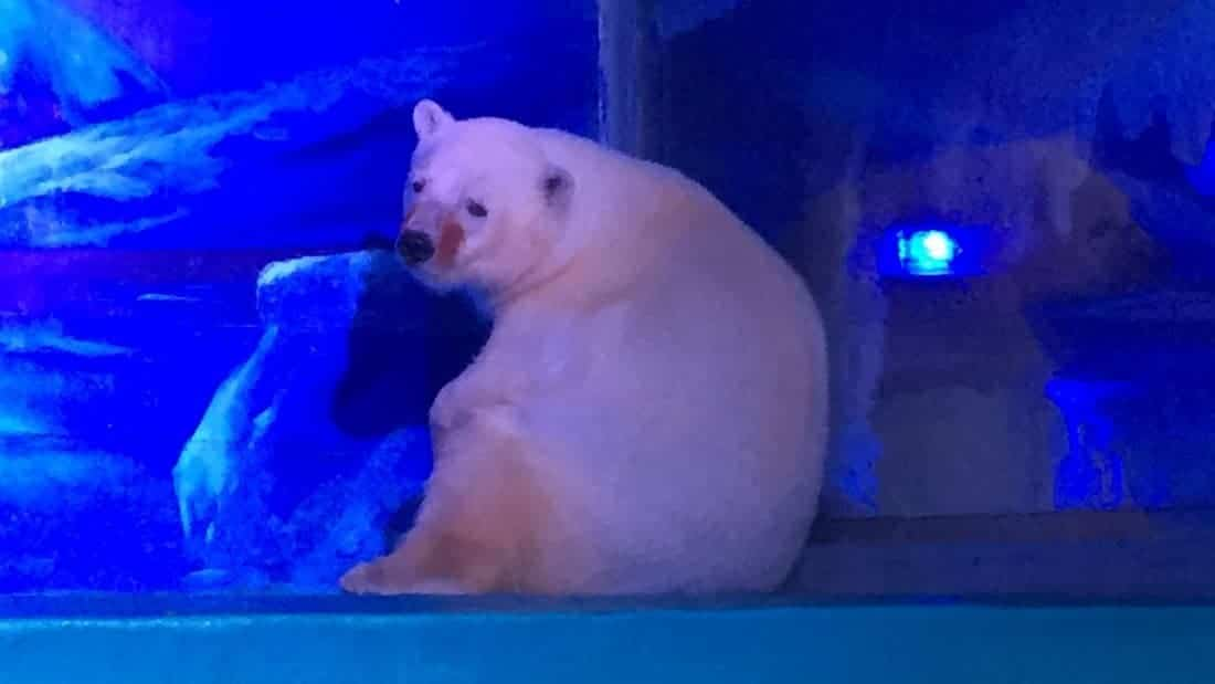 World's Saddest Polar Bear snaps creating outrage among people
