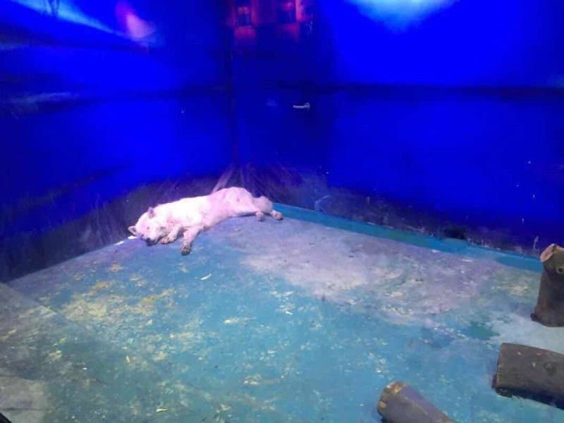 World's Saddest Polar Bear snaps creating outrage among people. Here is wolf in the same aquarium