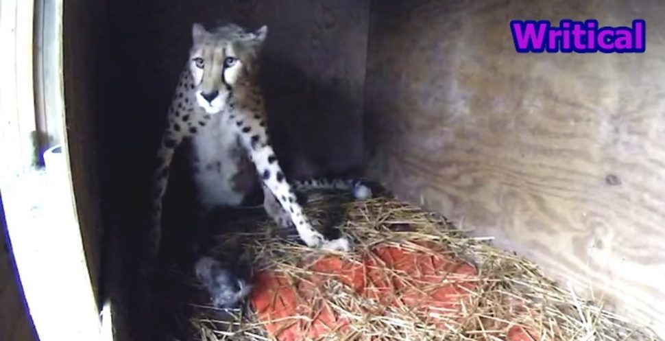 Cheetah Milani Becomes a Proud mother