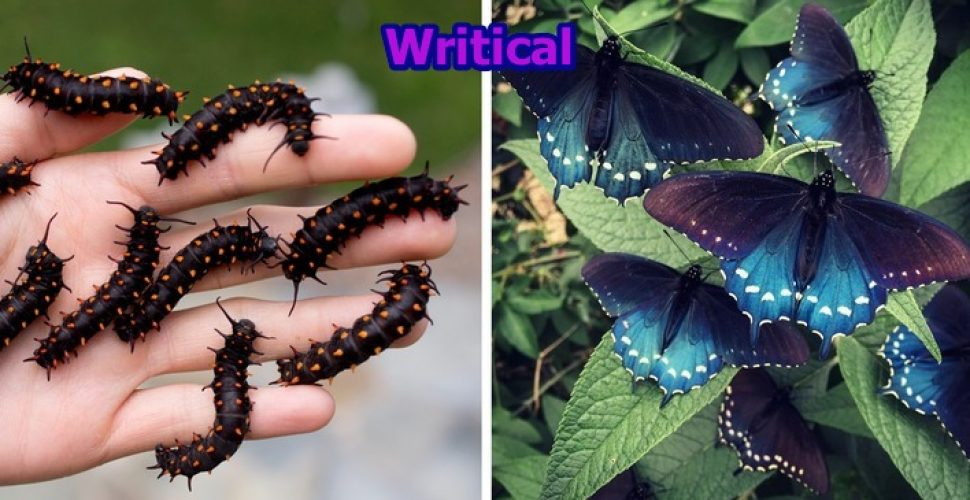 He repopulates rare butterfly species in his backyard