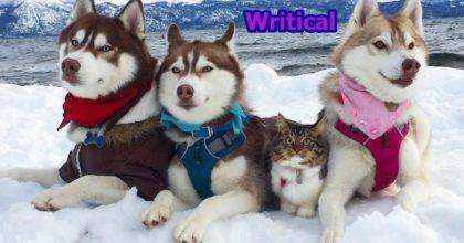 three huskies