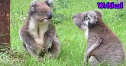 Koalas arguing