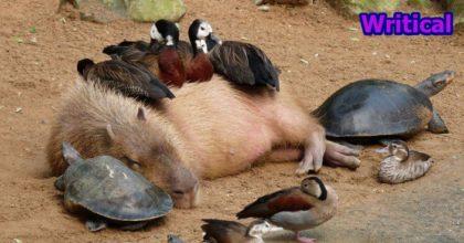 Capybaras getting love