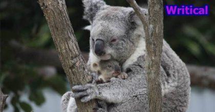 Symbio Wildlife Park baby koala