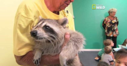 Raccoon special bond with his rescuer! Priceless