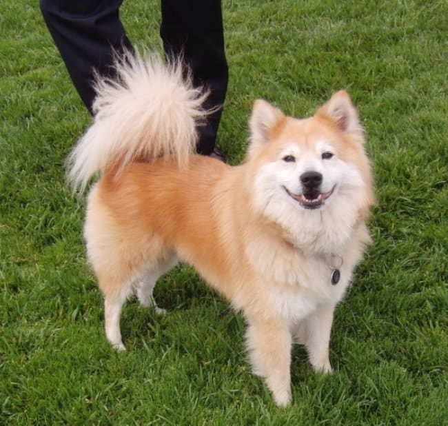 Awe and respect for the combination of Alaskan malamute, Siberian ... Unique Looking Dog Breeds