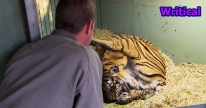 Mother tiger gives birth to twins. This is Captivating